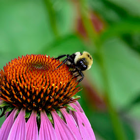 bee by Jeff Sluder - Animals Insects & Spiders ( cone flowers, wildflower garden )