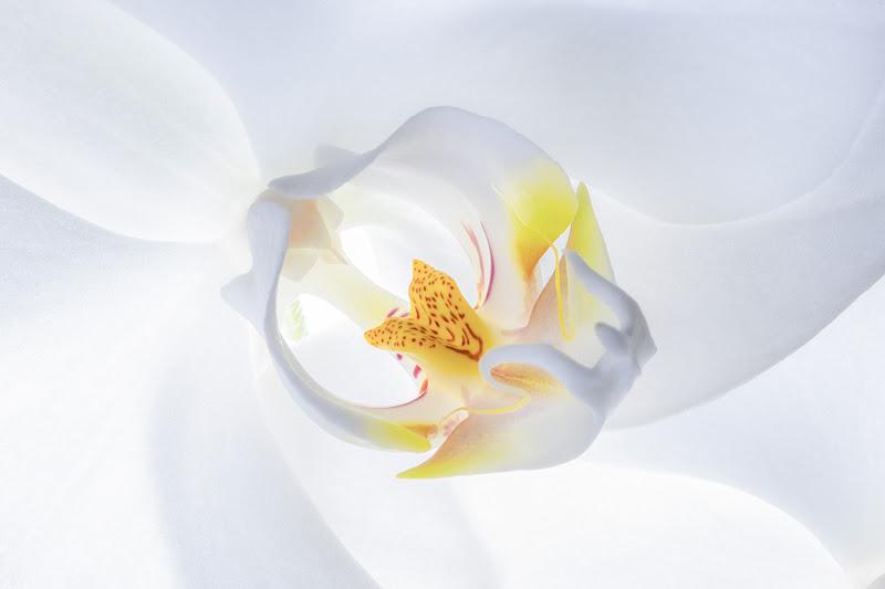 Orchidea Phalaenopsis di Nevio Saule