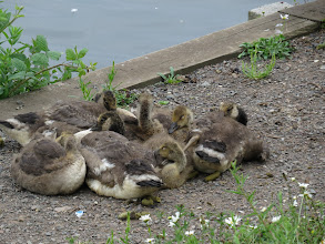 Photo: 2 Jul 13 Middle Pool: Legs (and crap) everywhere from these 7 Canada goslings. Just a hint of the white chinstrap as they begin to moult out of yellow down. (Ed Wilson)