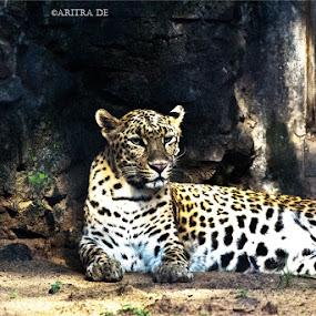 by Aritra De - Animals Lions, Tigers & Big Cats