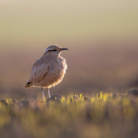 Cream-Colored Courser by Denis Keith - Animals Birds