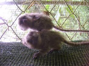 Photo: Two marmosets at the KSTR Wildlife Sanctuary