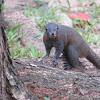 Local Squirrel Nyang Beach Phuket Thailand