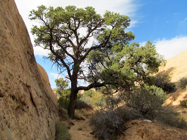 Pinyon pine in a small canyon