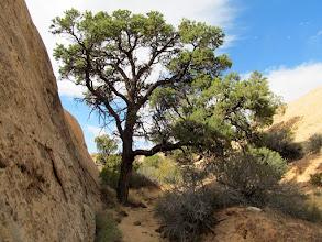Photo: Pinyon pine in a small canyon