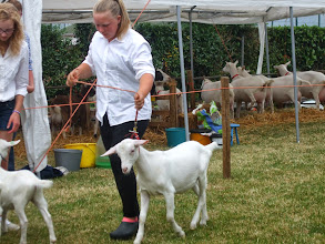 Photo: Klasse 3: witte lammeren geboren in maart en april.  1a. Marena v/d Voordijk.