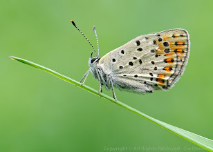Photo: Lycaena tityrus, Cuivré fuligineux, Sooty Copper http://lepidoptera-butterflies.blogspot.com/ https://www.facebook.com/pages/Macro-Photography-Do-Dema/540798875993427