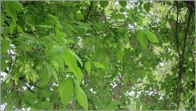 Photo: Artar - Paltin de munte (Acer pseudoplatanus)  -  din Turda,  de pe Calea Victoriei, alee pietonala - 2018.04.25