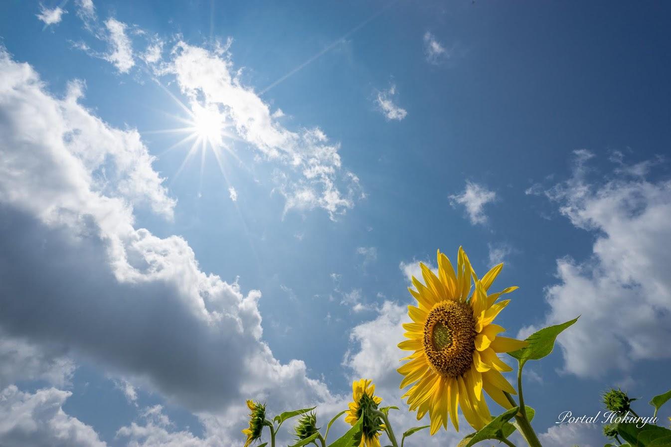 太陽をたっぷり浴びるひまわりさん