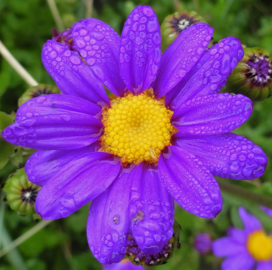 Oreti Beach by Marion Metz - Flowers Single Flower ( oreti, nature, purple, wildflower, beach, new zealand, flower )