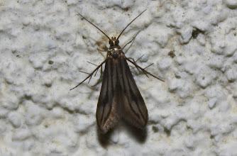 Photo: Schreckensteinia festaliella   Lepidoptera > Schreckensteiniidae