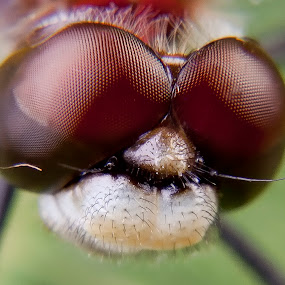 Dragon Fly by Michel Arel - Animals Insects & Spiders ( canon, insecte, #pixoto, bug, michel arel, insect, dragonfly, eye )