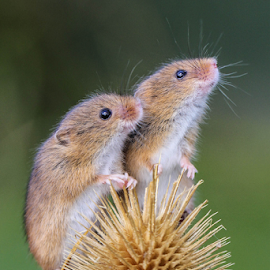 Mice by Garry Chisholm - Animals Other Mammals ( nature, mammal, rodent, harvest mouse, mice, garry chisholm )
