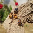 Seven-spotted ladybeetle pupae