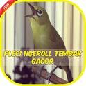 Pleci Ngalas Ngerol Gacor Offline icon