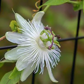 by Tammy Cassford - Flowers Single Flower