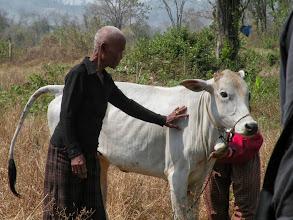 Photo: Recent widow of landmine survivor Nha Oum and new breeding calf provided by CLMF
