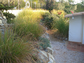 Photo: PORT_Rock garden landscaping. These vetiver plants are 8 years old, and are trimmed twice a year.