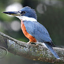 Martim-pescador-grande (Ringed Kingfisher) - Male