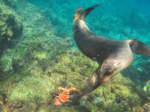 Photo: This sea lion was playing with the crab shell just under Melinda while we were snorkeling.