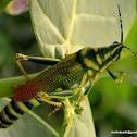 Milkweed locust/ Painted grasshopper