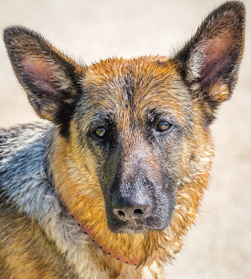 Shepard by Dave Lipchen - Animals - Dogs Portraits ( shepard )