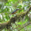 White-tailed Nuthatch or Himalayan Nuthatch