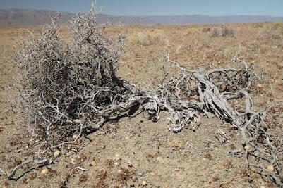 Vertrockneter Strauch in der Tankwa Karoo