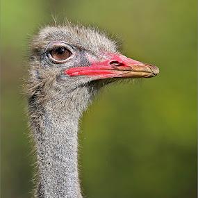 Ostrich portrait by Johann Harmse - Animals Birds ( bird portrait, nature, ostrich, bird, birds,  )