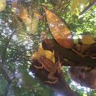 Stiped Marsh Frog