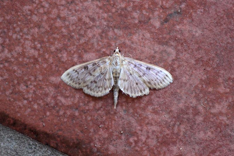 Photo: Herpetogramma pertextalis (Bold-Feathered Grass moth)