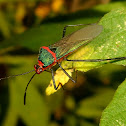 Sphictyrtus bug