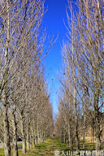 Photo: 拍攝地點: 梅峰-一平臺 拍攝植物: 白楊 拍攝日期: 2015_01_15_FY