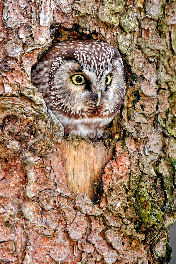 Boreal owl in the nest by Gérard CHATENET - Animals Birds (  )