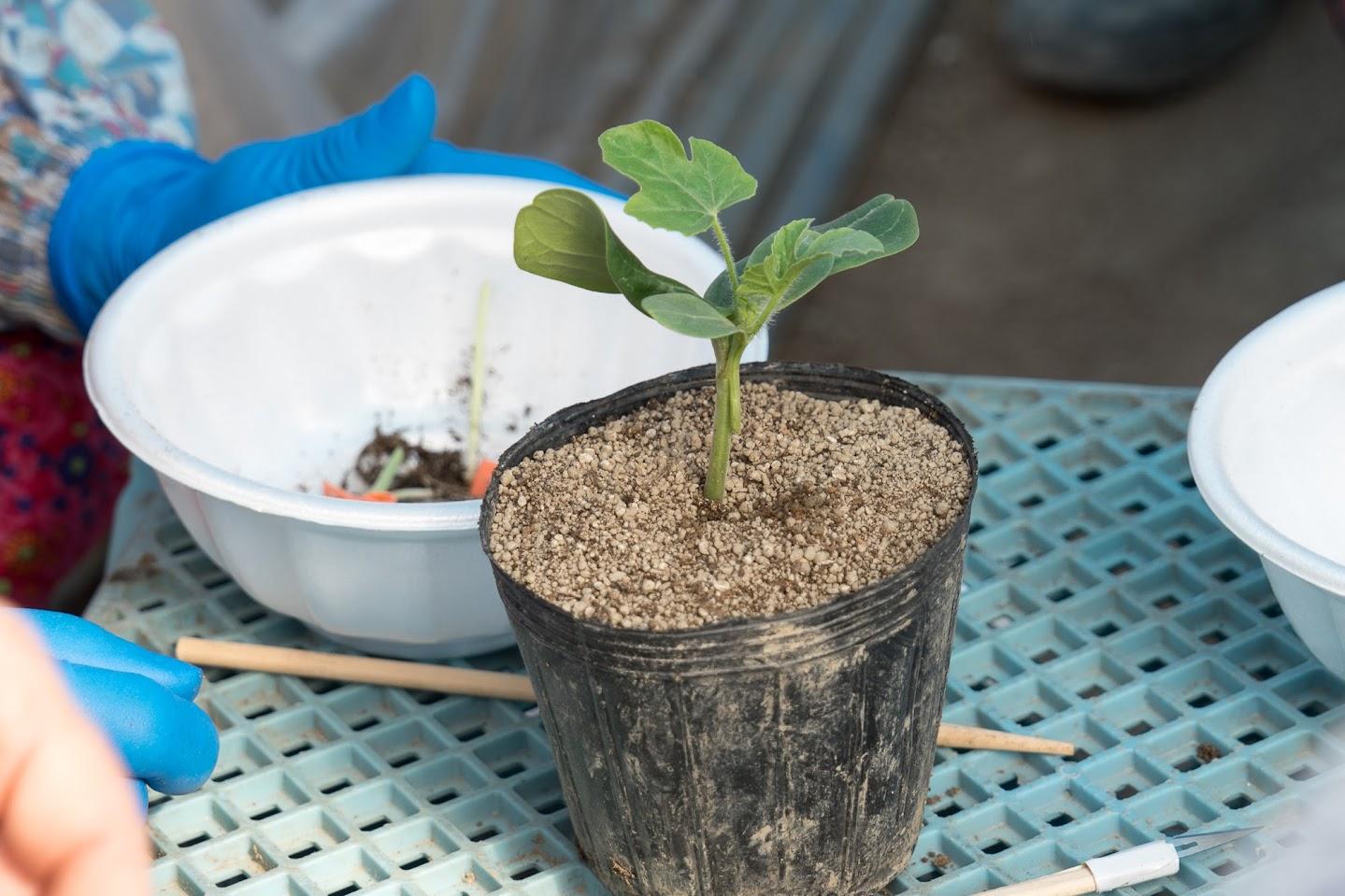 根と茎はユウガオ、芽はひまわりスイカ