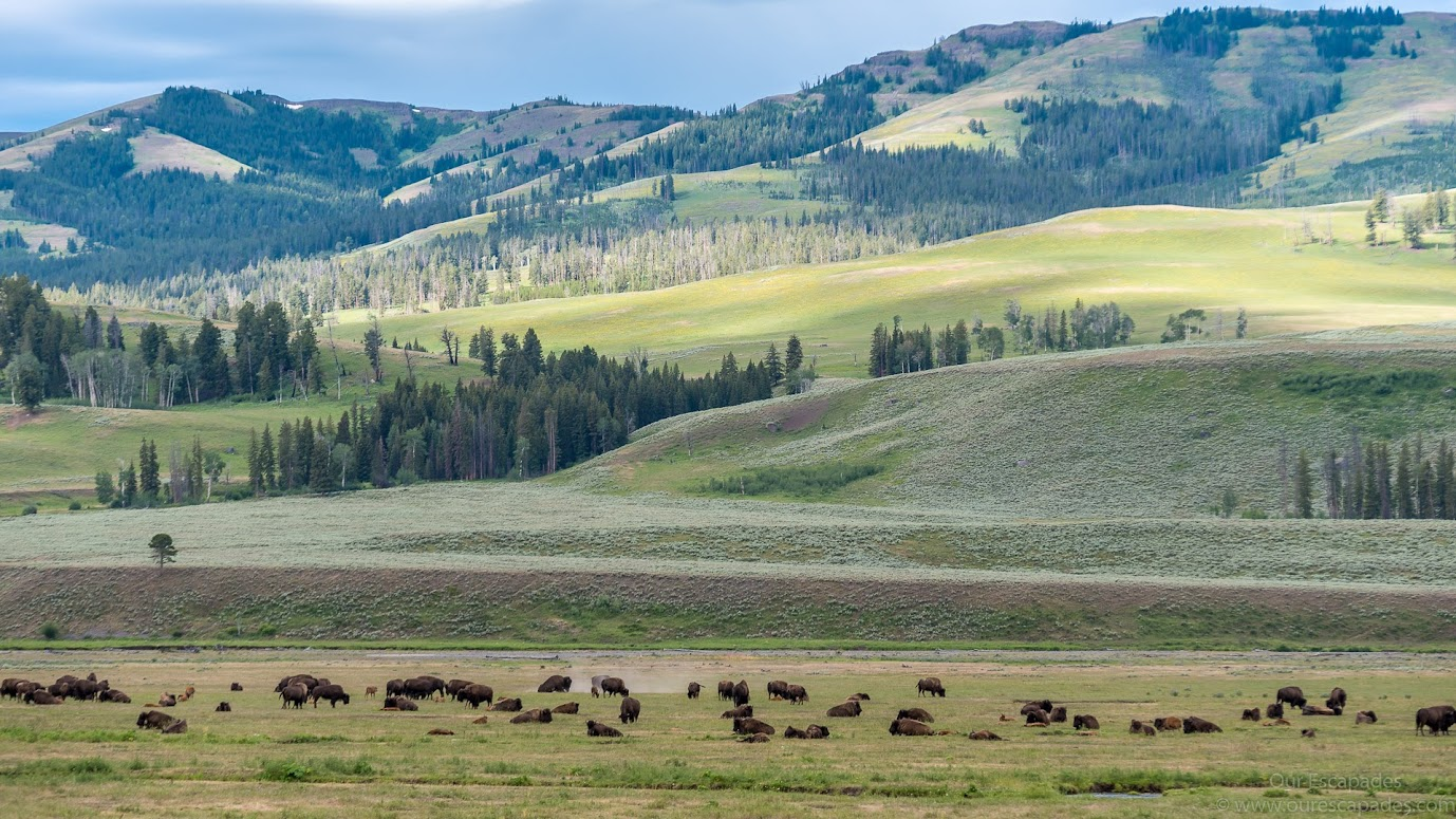 Hundreds and hundreds of bisons in the Lamar Valley