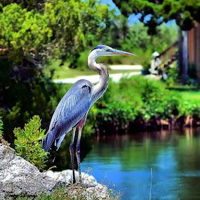 Great Blue Heron by Terry Davey - Animals Birds ( heron )