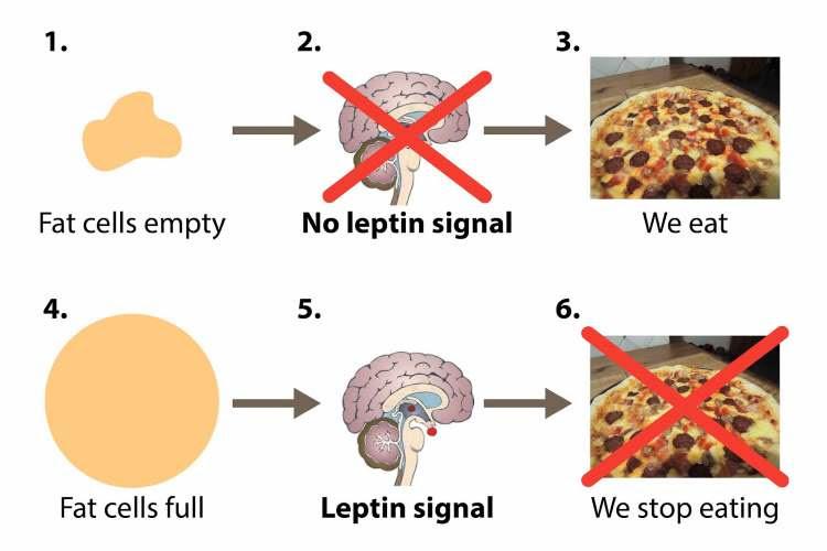 Ορμόνες και Αδυνάτισμα: Πως η Λεπτίνη ρυθμίζει την πείνα
