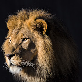 Lion by Dave Lipchen - Animals Lions, Tigers & Big Cats ( lion )