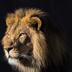 Lion-42.jpg