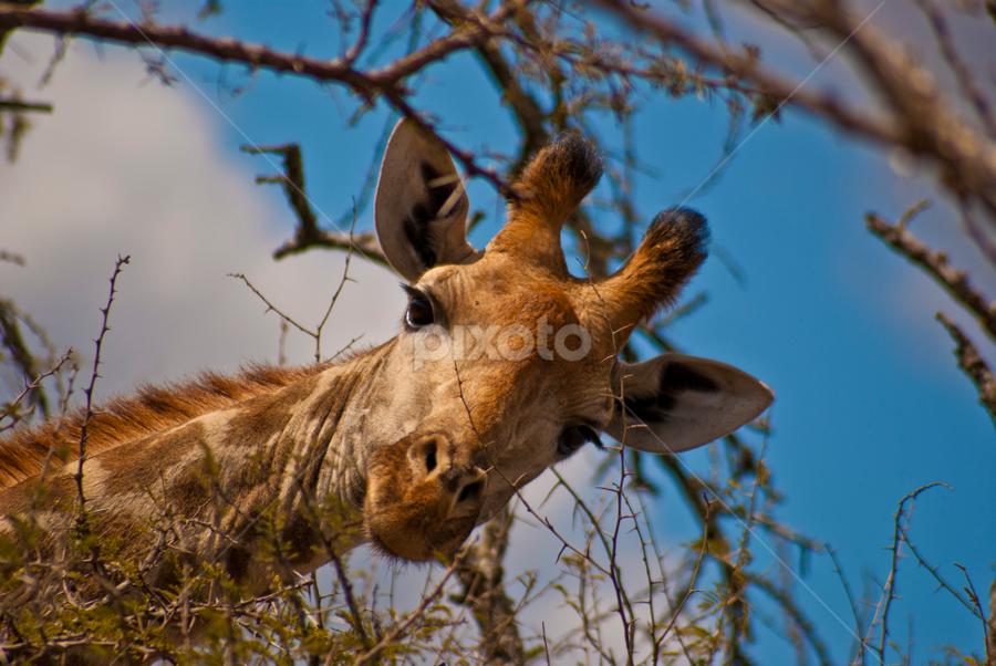 Giraffe POV by Peet Snyder - Animals Other Mammals