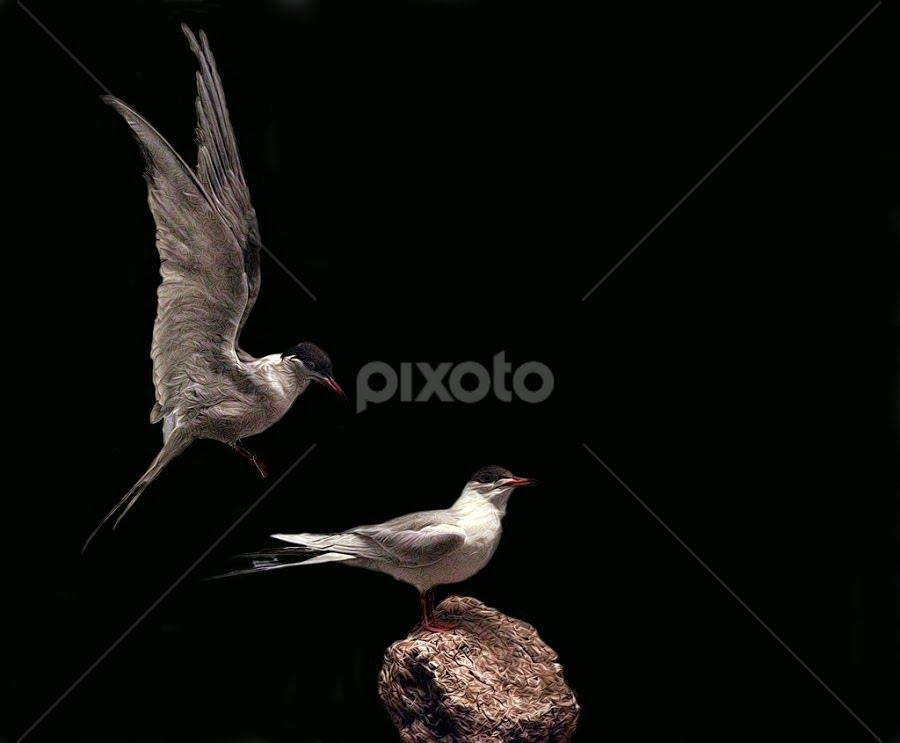 Tern Around by John Larson - Animals Birds