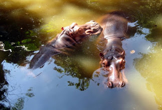 Photo: How do you liven up a couple of lazy Hippos?  Spend a measly 10 baht for some Hippo food and watch the action.