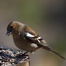 Photo: Bird N°20: Chaffinch ♀ ... .. . Latin: Fringilla coelebs