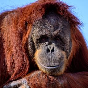 orangutan by Bill Frische - Animals Other Mammals ( look, red, smiley, fur, orangutan, smile,  )