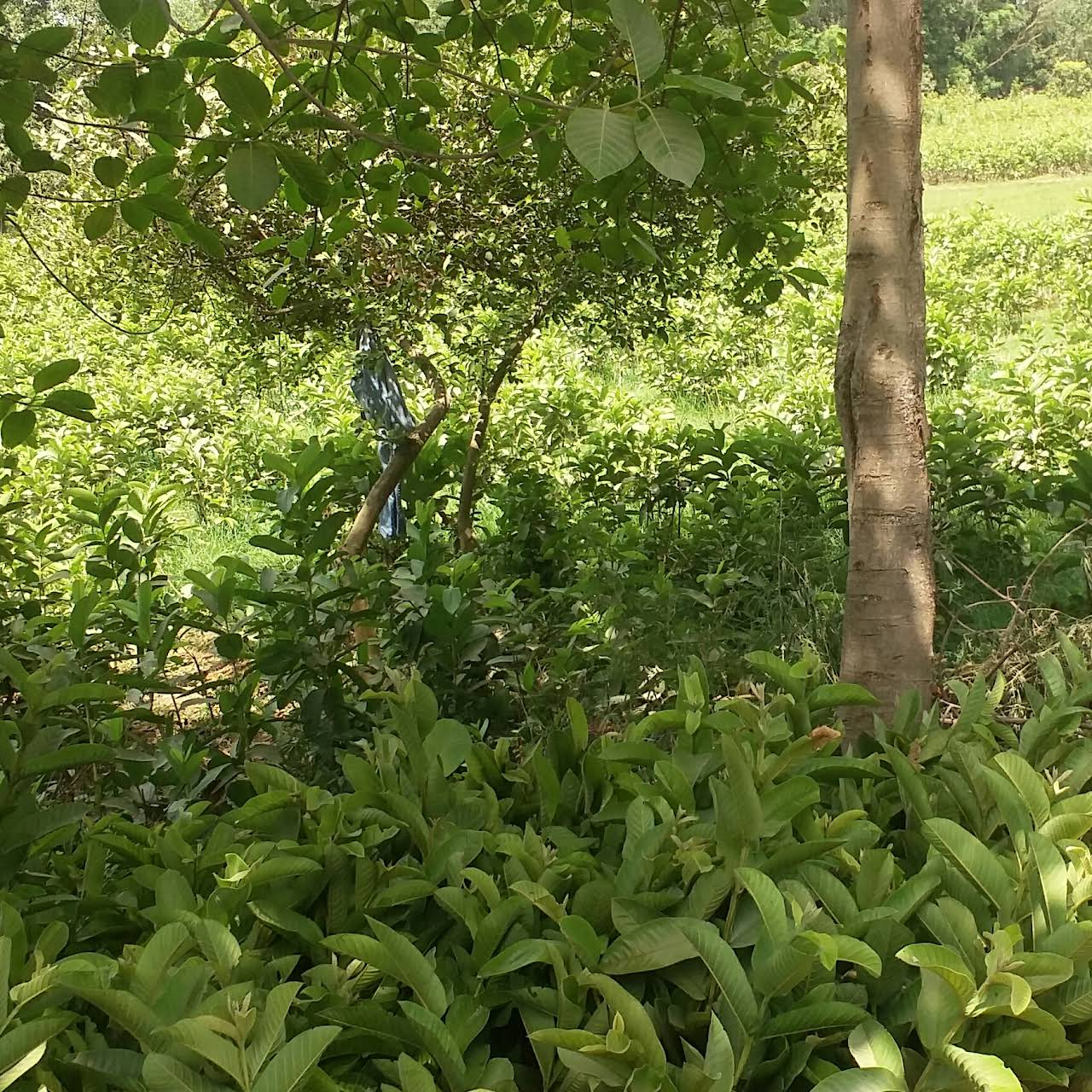 Guava Plant - Wholesale Plant Nursery