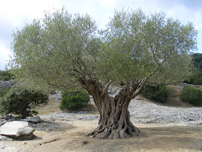 Photo: Wherever the Romans went, so did olive tress (with suitable weather). We're sure that this specimen does not date from then – but we later learned that one of the world's oldest olives trees is in fact located here. It's about 1000 years old, and from pictures on the Internet, we're pretty sure that we have in fact stumbled on it here!