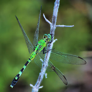 The Green Dragonfly.jpg