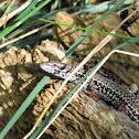 Common wall lizard