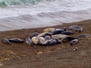 Photo: Elephant seals